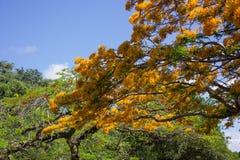 Une branche fleurissante de regia jaune de Delonix Photographie stock libre de droits
