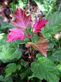 Une branche mince avec des feuilles de différentes couleurs Avec Bourgogne léger à partir du dessus et de l'élevage vert ci-desso Photographie stock libre de droits