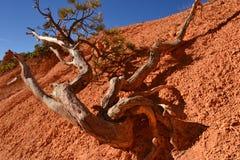 Une branche tombe chez Bryce Canyon Photos libres de droits