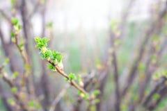 une brindille de buisson de groseille avec le jeune vert part en premier ressort image libre de droits