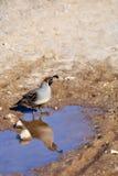 Une caille dans le désert, et sa réflexion Image stock