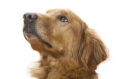 Une canine heureuse Photo libre de droits