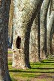 Une cavité à la base d'un arbre de platanus, parc des arbres plats de Londres Photos stock