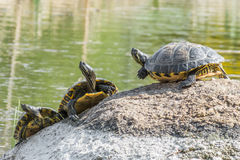 Une certaine tortue se reposant sur une pierre dans un lac appréciant le soleil Images libres de droits