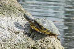 Une certaine tortue se reposant sur une pierre dans un lac appréciant le soleil Photographie stock