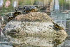 Une certaine tortue se reposant sur une pierre dans un lac appréciant le soleil Photos stock