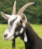 Une chèvre Photo libre de droits
