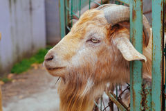 Une chèvre Photos stock