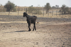 Une chèvre au Ràjasthàn Image stock