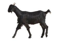 Une chèvre au Ràjasthàn a isolé Photos stock