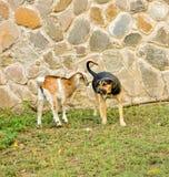 Une chèvre avec l'attitude dans les Caraïbe Photos stock