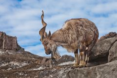 Une chèvre avec le grand marchur de chèvre de montagne de klaxons se tient seule sur une roche, un paysage de montagne et un ciel photographie stock