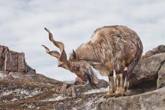 Une chèvre avec le grand marchur de chèvre de montagne de klaxons se tient seule sur une roche, un paysage de montagne et un ciel photographie stock libre de droits