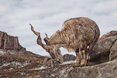 Une chèvre avec le grand marchur de chèvre de montagne de klaxons se tient seule sur une roche, un paysage de montagne et un ciel photo stock