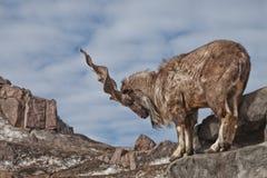 Une chèvre avec le grand marchur de chèvre de montagne de klaxons se tient seule sur une roche, un paysage de montagne et un ciel image stock