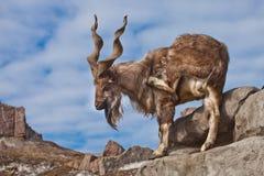Une chèvre avec le grand marchur de chèvre de montagne de klaxons se tient seule sur une roche, un paysage de montagne et un ciel photos libres de droits