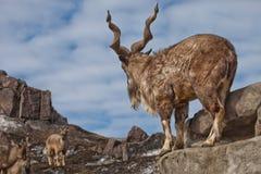 Une chèvre avec le grand markhur de chèvre de montagne de klaxons se tient sur une roche, examinant une chèvre près du paysage de photographie stock libre de droits