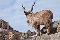 Une chèvre avec le grand markhur de chèvre de montagne de klaxons se tient sur une roche, examinant une chèvre près du paysage de photo libre de droits