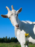 Une chèvre blanche Photographie stock