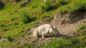 Une chèvre blanche, enchaînée par une chaîne, se situe dans la poussière au sol clips vidéos