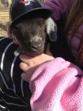Une chèvre dans une casquette de baseball photo libre de droits
