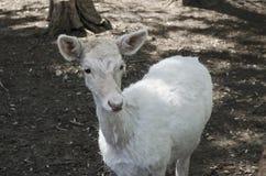 Une chèvre dans la cour Image libre de droits