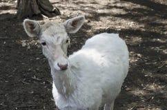Une chèvre dans la cour Photographie stock libre de droits