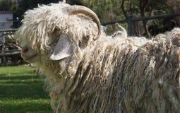 Une chèvre de mohair avec des klaxons Photos libres de droits