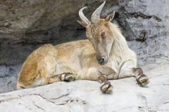 Une chèvre de montagne à cornes Photo stock