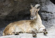 Une chèvre de montagne à cornes Photos stock
