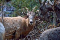 Une chèvre de montagne avec des klaxons Photo libre de droits