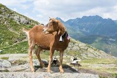 Une chèvre de montagne dans les alpes suisses photo libre de droits