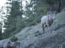 Une chèvre de montagne de regard confuse Image libre de droits