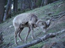 Une chèvre de montagne de regard confuse Photos libres de droits