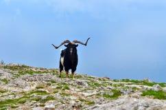 Une chèvre de montagne solitaire Image libre de droits