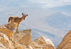 Une chèvre de montagne sur les roches Image stock