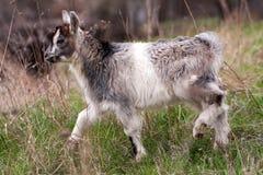 Une chèvre de petit enfant frôle sur l'herbe Photos libres de droits