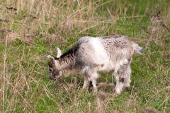 Une chèvre de petit enfant frôle sur l'herbe Image stock