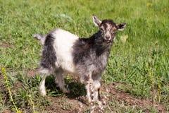 Une chèvre de petit enfant frôle sur l'herbe Images libres de droits