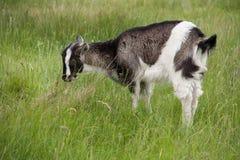 Une chèvre de petit enfant frôle sur l'herbe Photo stock