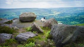 Une chèvre en bord de Bamford, le secteur maximal, Royaume-Uni Photographie stock libre de droits