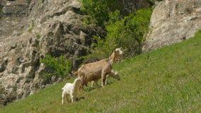 Une chèvre et de petites chèvres mâchent sur l'herbe banque de vidéos