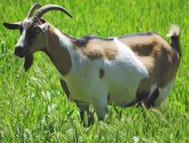 Une chèvre frôlant dans un pré Image stock