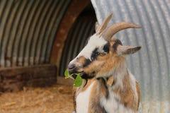 Une chèvre mangeant des feuilles Images libres de droits
