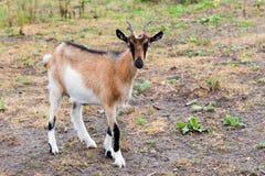 Une chèvre plus aimable Image stock