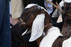 Une chèvre regardant ? Photographie stock