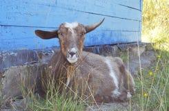 Une chèvre sans klaxons photographie stock