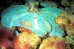 Une chasse des Caraïbes nocturne de poulpe de récif la nuit image stock