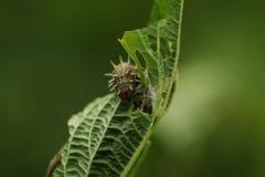 Une chenille sur une plante verte, mangeant étroitement  photographie stock libre de droits
