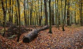 Une chute mélangée automnale de feuille de forêt de grand vieil identifiez-vous près de la voie Photo libre de droits